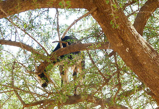 Morocco Goat on Tree