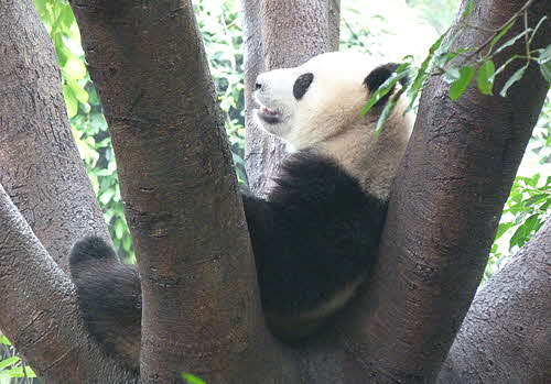 China Panda on Tree