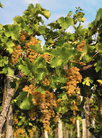 Furmint grapes on the vine