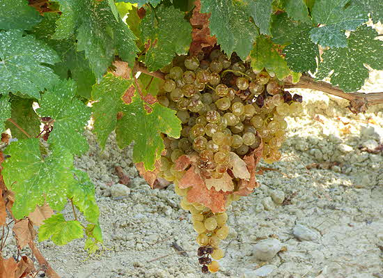 Gonzales Byass Ripe Palomino Grapes
