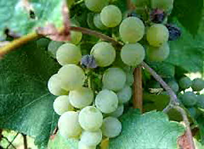 Pallagrello Bianco Grapes