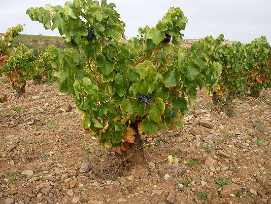 Santorini Bush Trained Vine