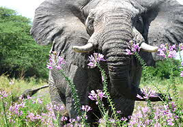Tanzania Elephant and flowers
