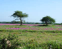 Tanzania Field of Pink Flowers