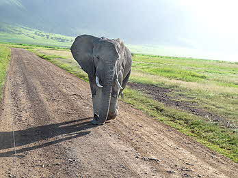 Tanzania Mad Elephant Charging