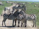 Tanzania Zebras on Road